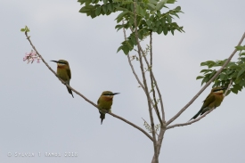 cute Bee Eaters