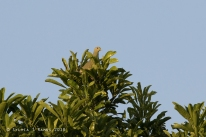 Pink-necked Green Pigeon in front of the cottage!