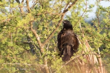 Lesser Coucal sunning itself in an Aroma bush