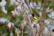 Olive-backed Sunbird on Madre de Cacao