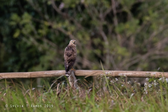 Pied Harrier perched on a bamboo fence