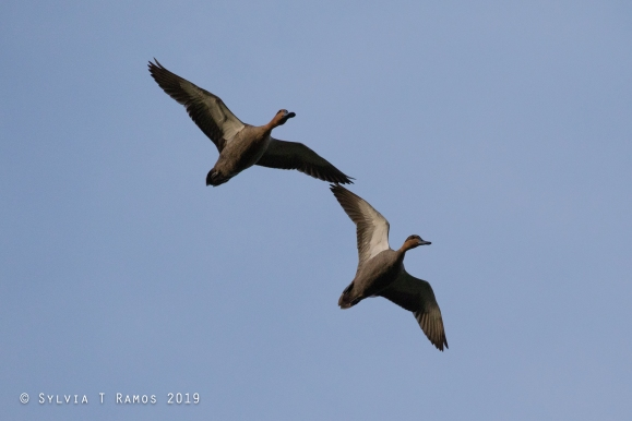 two Philippine Ducks in flight