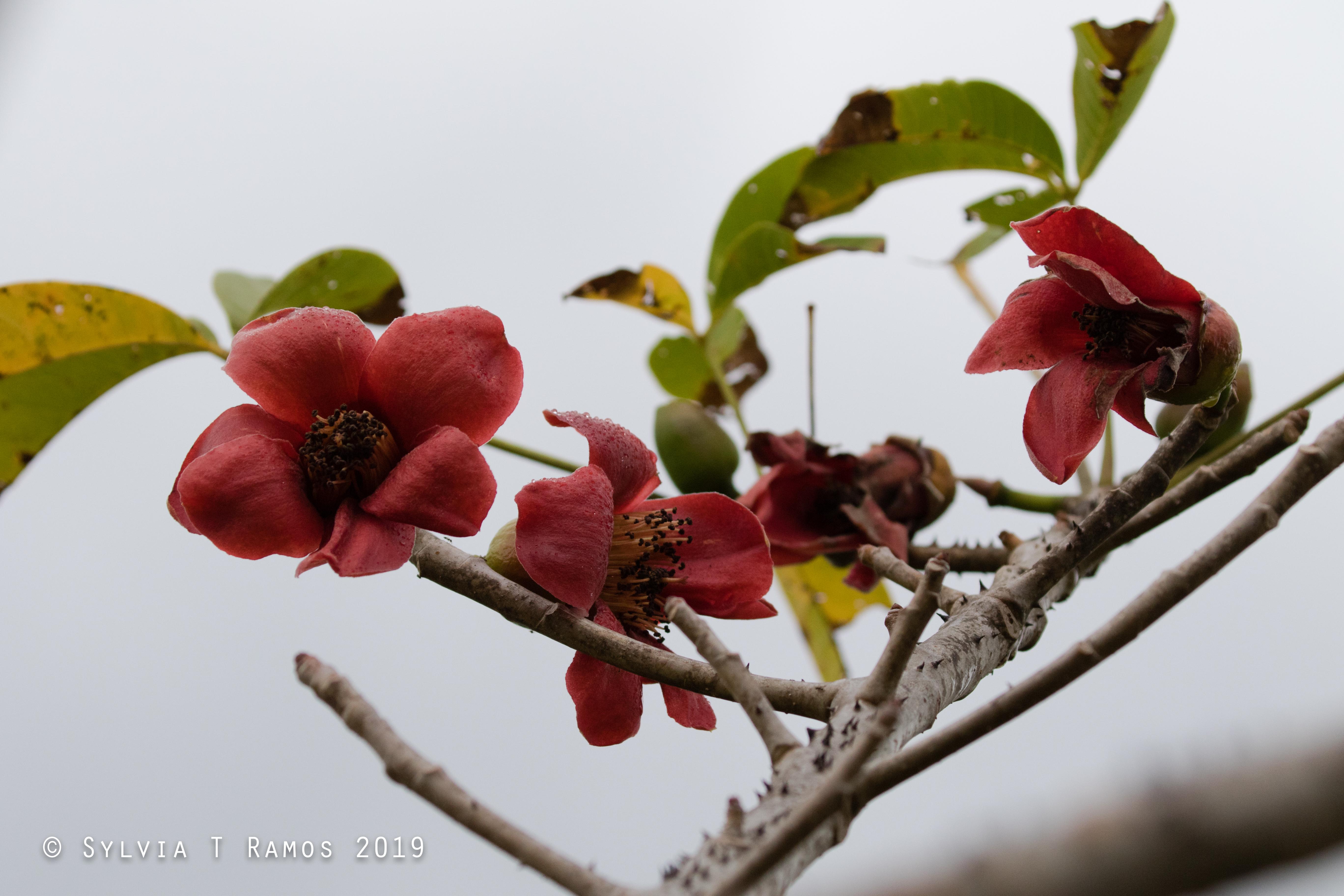 Malabulak flower