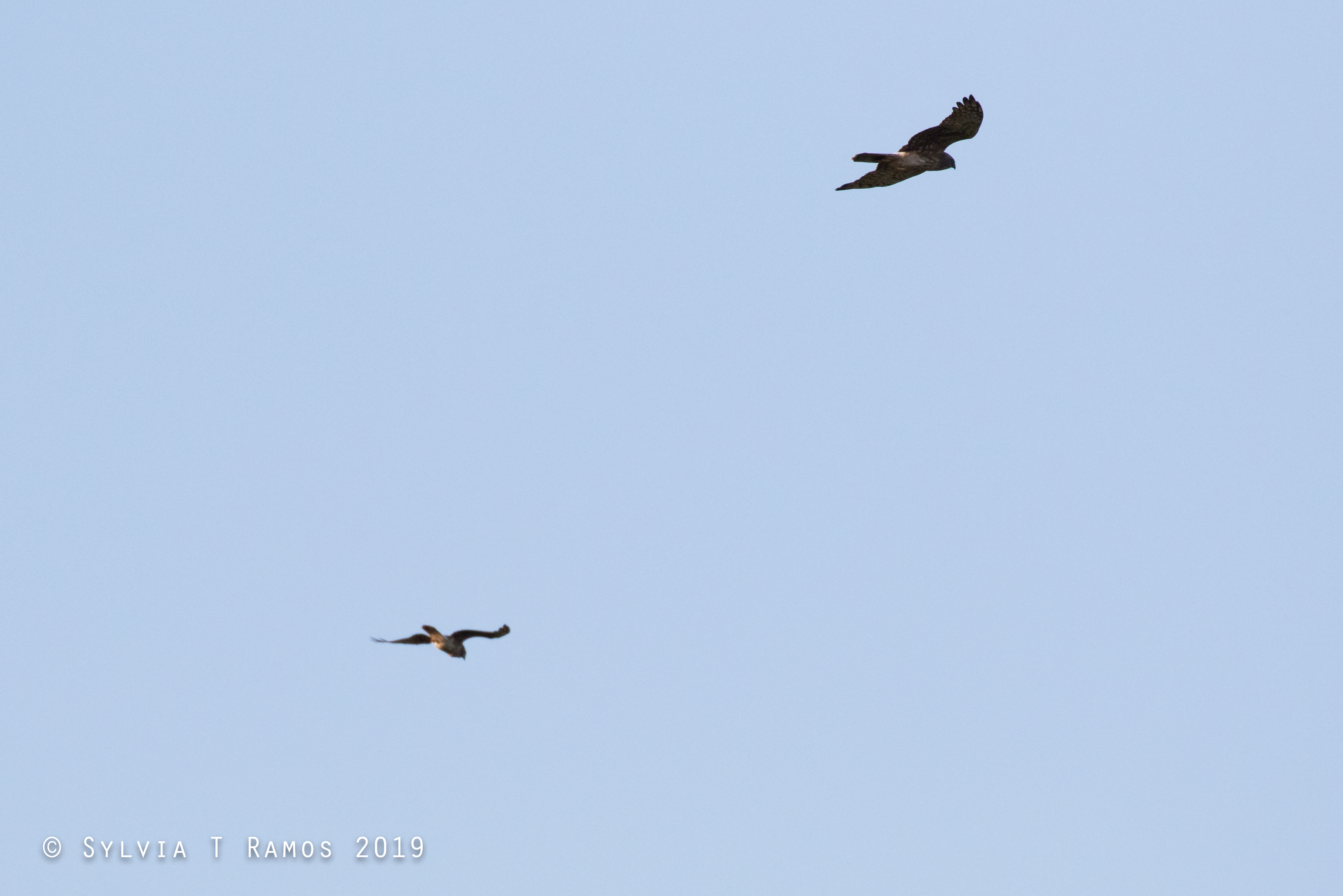 two pied harriers