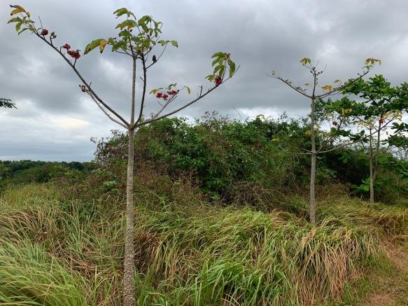 Malabulak trees in a row Bombax ceiba