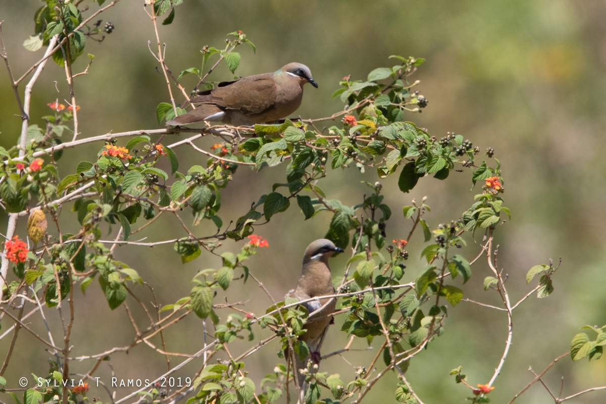 White Eared Brown Doves