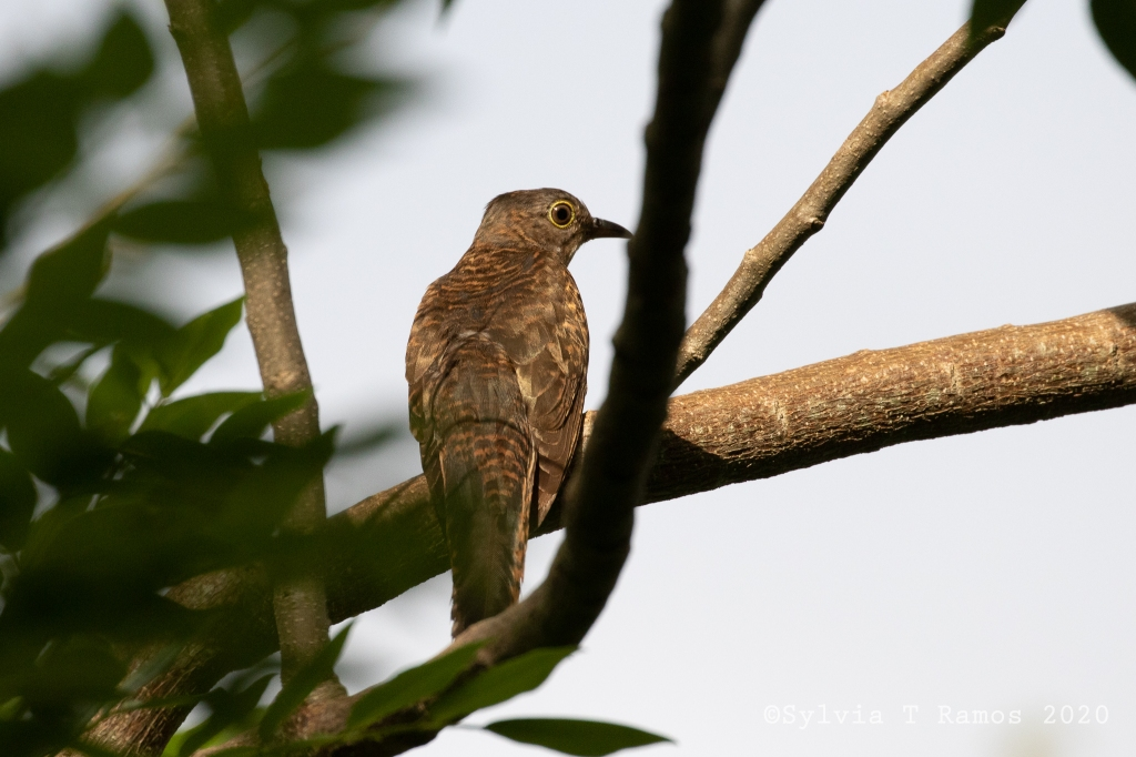 Philippine Hawk Cuckoo immature
