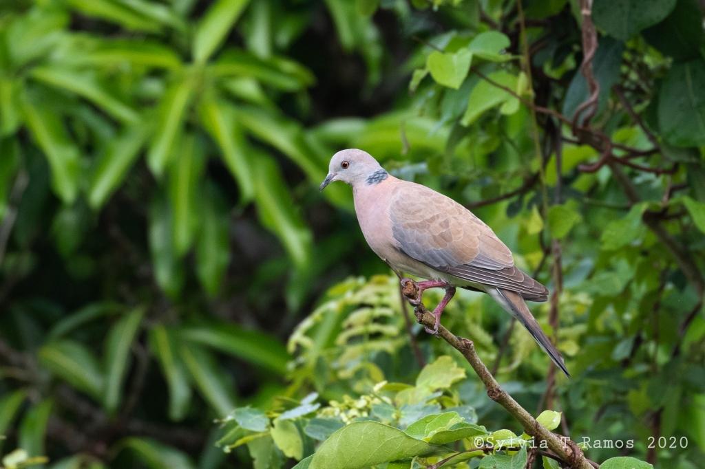 Philippine Collared Dove