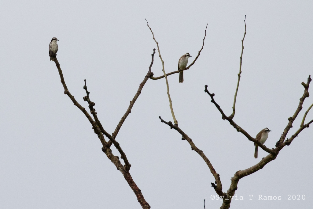 Stripe Headed Rhabdornis and Yellow Vented Bulbuls in a tree