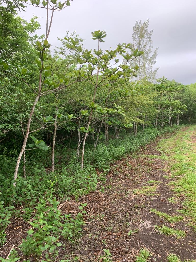 Talisay and Binayuyu trees